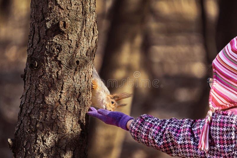 Un ni?o de la muchacha en una chaqueta y un sombrero rojos quiere alimentar las semillas de girasol de la ardilla foto de archivo