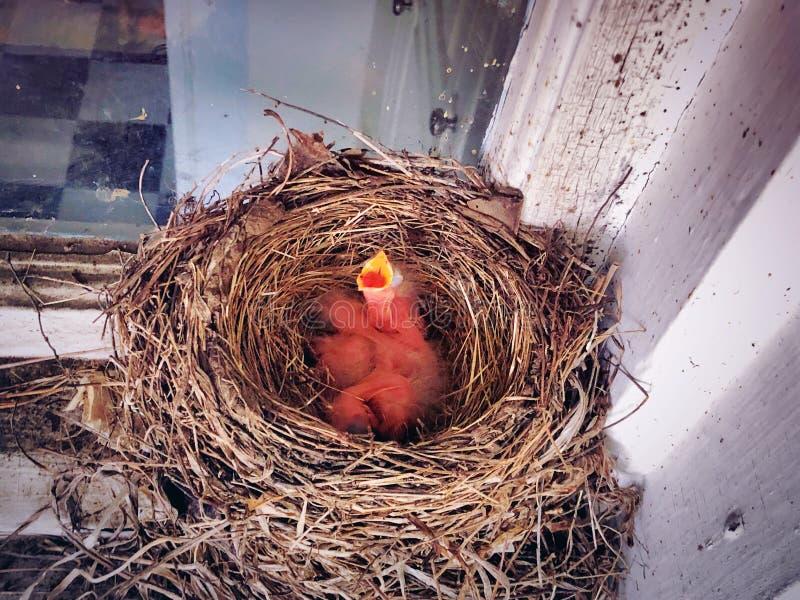 Un nid de bouche ouverte de bébés nouveau-nés américains de merle images stock