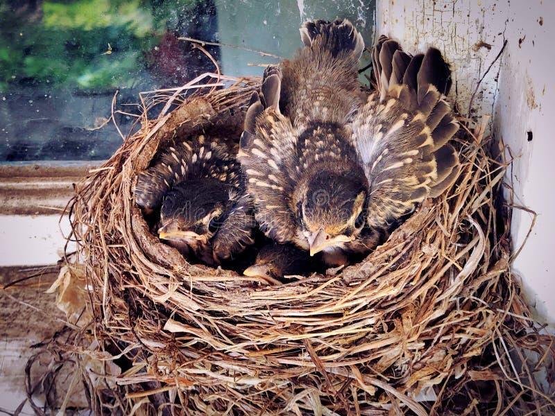 Un nid des bébés nouveau-nés de merle américain images stock