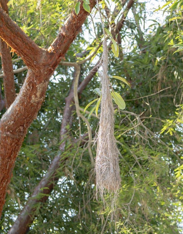 Un nid Jaune-à ailes de melanicterus de Cassiculus de cacique accrochant dans un arbre au Mexique photos stock