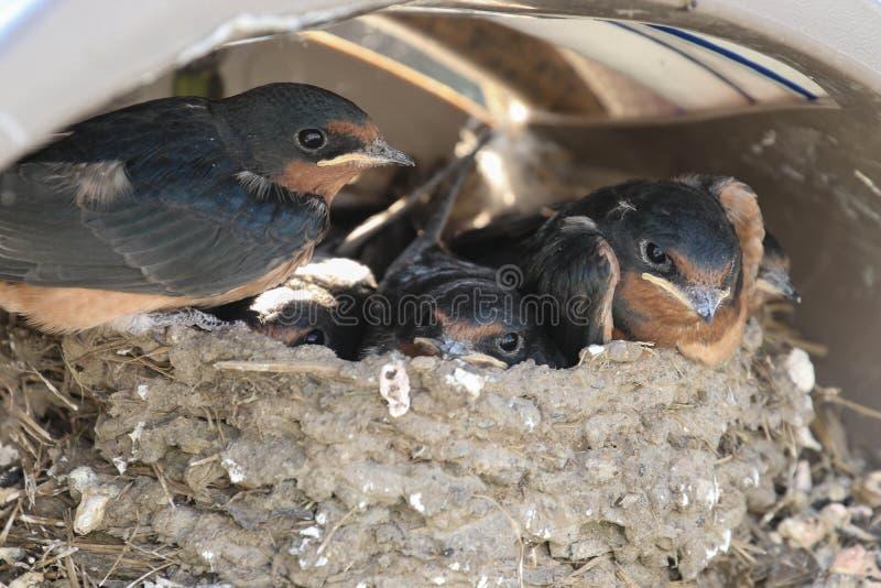 Un nido dei sorsi di granaio fotografia stock libera da diritti