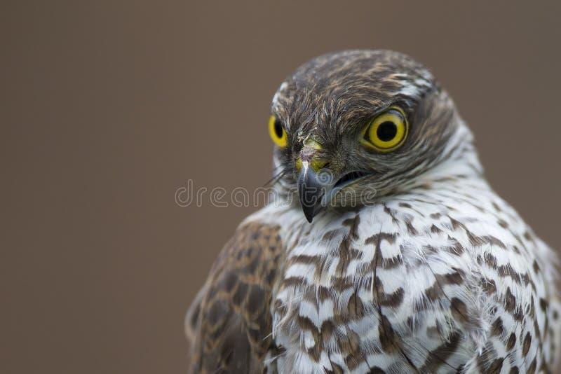 Un nisus eurasiático adulto del Accipiter del sparrowhawk rescatado y sostenido para dejar para ir en un centro del rescate de la fotografía de archivo