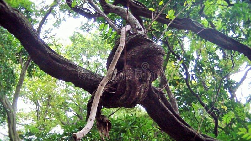 Un noeud d'une branche en bois photos stock