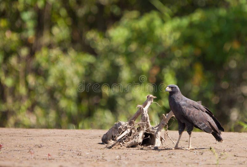 Un Noir-faucon grand image stock