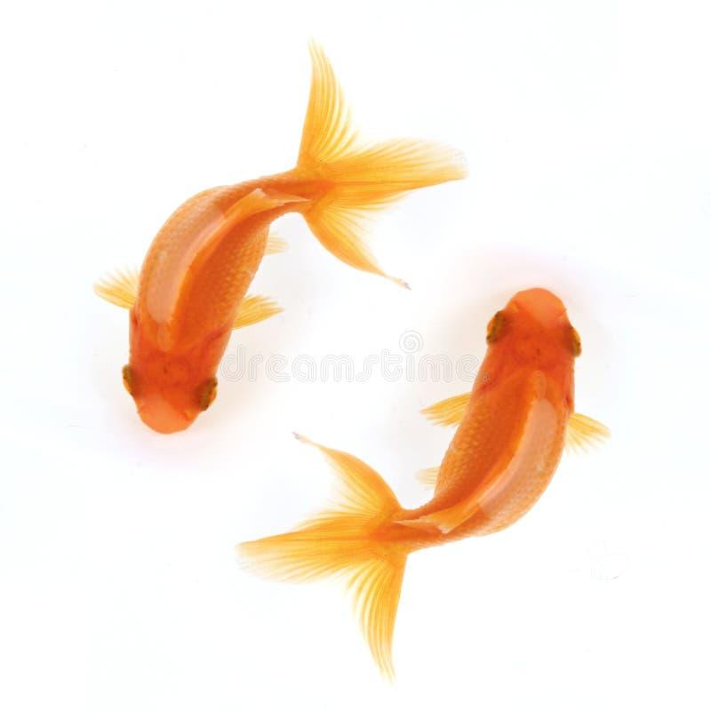 Un nuoto dei due goldfish nei cerchi immagini stock
