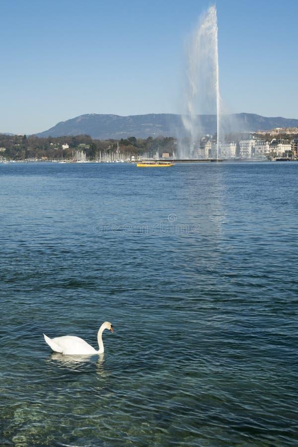Un nuoto del cigno nel lago geneva con il getto alla parte posteriore fotografia stock