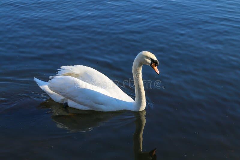 Un nuoto del cigno in un lago fotografie stock libere da diritti