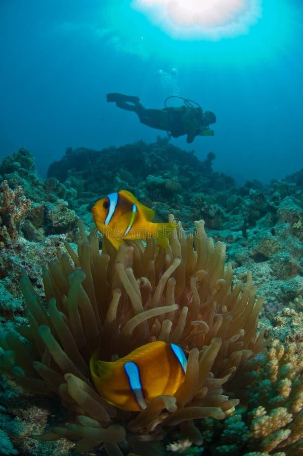 Un nuoto dell'operatore subacqueo dopo un anemonefish ed il suo ospite, Thistlegorm, Egitto fotografie stock libere da diritti