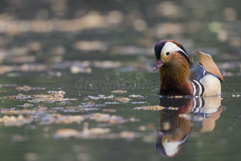 Un nuoto maschio adulto di galericulata del Aix dell'anatra di mandarino e foraggiare in uno stagno della città nella capitale di fotografia stock libera da diritti