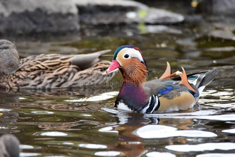 Un nuoto maschio dell'anatra di mandarino sul lago immagini stock libere da diritti