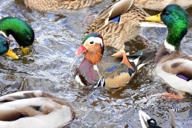Un nuoto maschio dell'anatra di mandarino sul lago immagine stock
