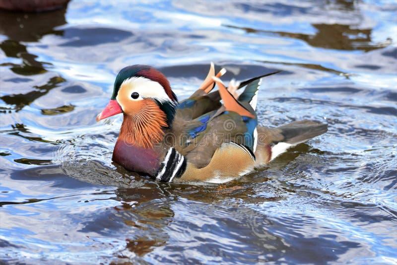 Un nuoto maschio dell'anatra di mandarino sul lago fotografia stock libera da diritti