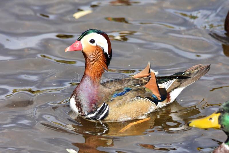 Un nuoto maschio dell'anatra di mandarino sul lago fotografia stock