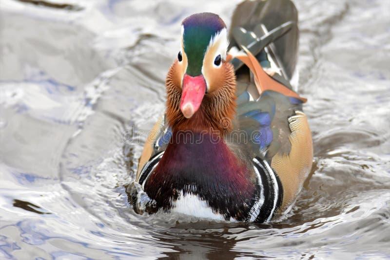 Un nuoto maschio dell'anatra di mandarino sul lago fotografie stock