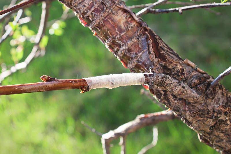 Un nuovo ramo innestato su un albero fotografia stock