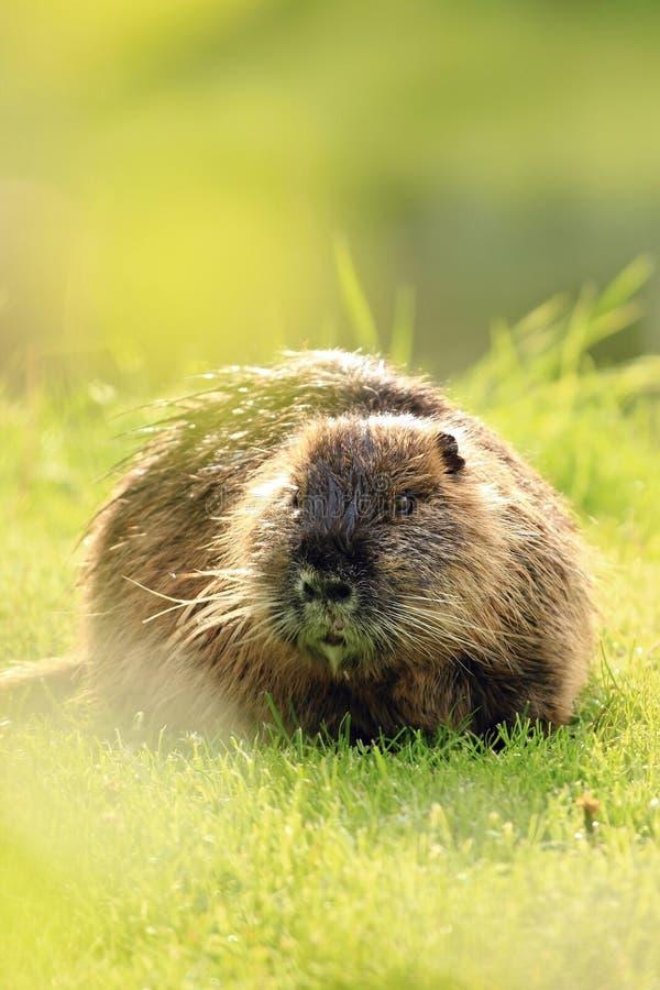 Un nutria sur l'herbe verte photo libre de droits