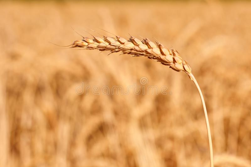 Un oído de oro maduro de centeno doblado bajo el peso de los granos contra la perspectiva del campo imagen de archivo