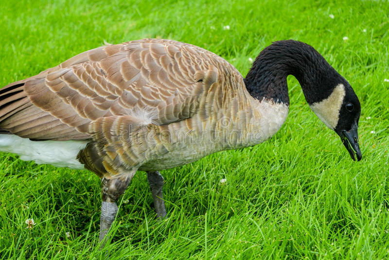 Un'oca che mangia erba in un parco immagini stock