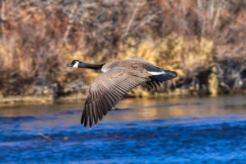 Un'oca del Canada in volo immagini stock