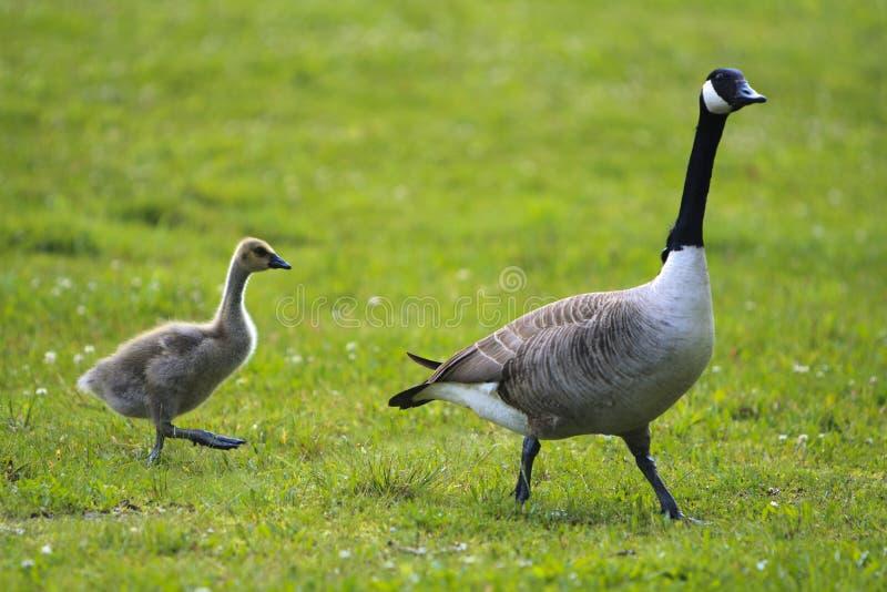 Un'oca ed il suo bambino immagini stock libere da diritti