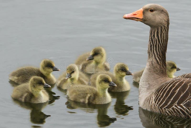 Un'oca selvatica adulta, anser del Anser, nuotante su un lago con le sue papere sveglie fotografia stock libera da diritti
