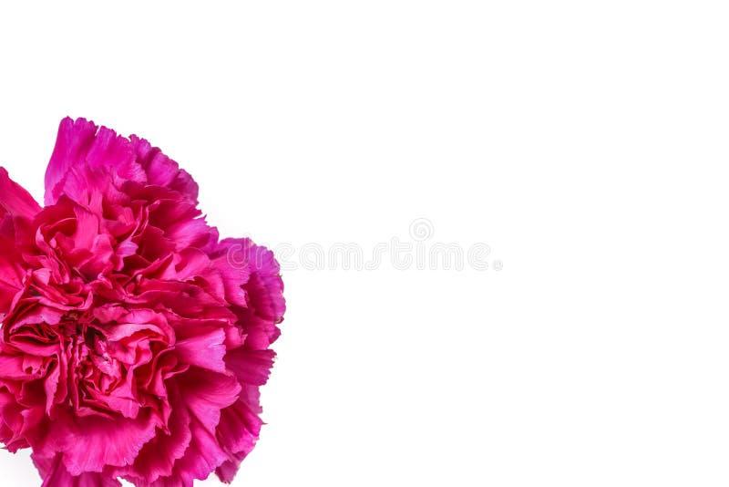Un oeillet rose photographie stock libre de droits