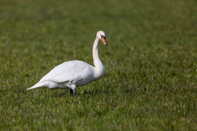 Un oiseau blanc d'olor de cygnus de cygne muet se tenant dans le pré vert photos libres de droits