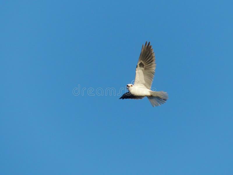 Un oiseau Blanc-Suivi de cerf-volant en vol image libre de droits