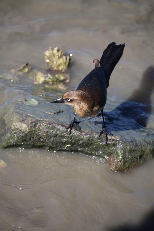 Un oiseau brun d'océan photos libres de droits