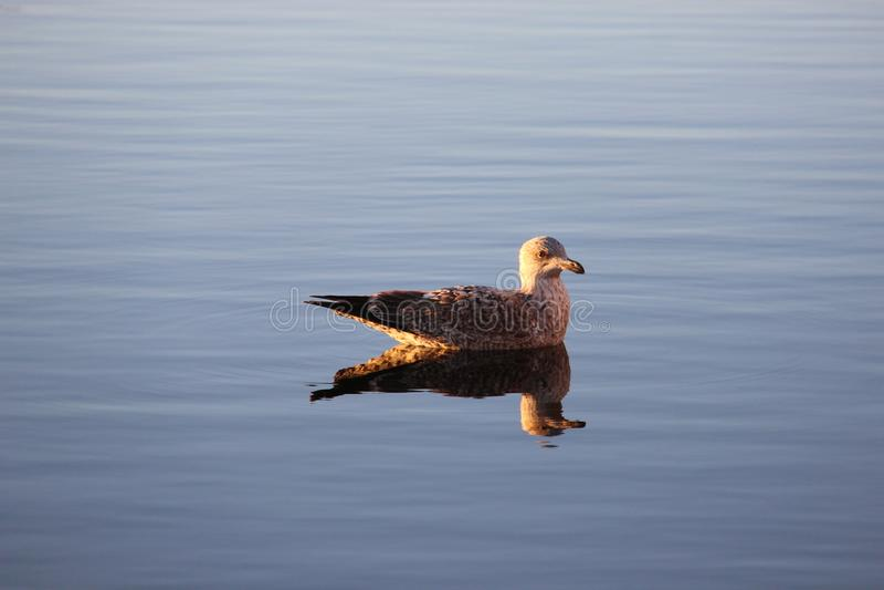 Un oiseau détendent sur le petit lac nature en Allemagne photo libre de droits