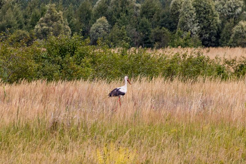 Un oiseau de cigogne marche à travers le champ à la recherche de la nourriture images libres de droits