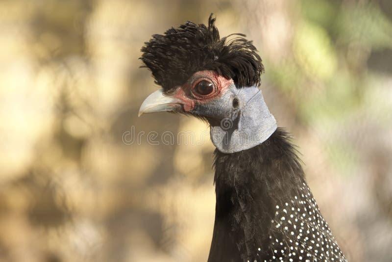 Un oiseau de Guineafowl photos stock
