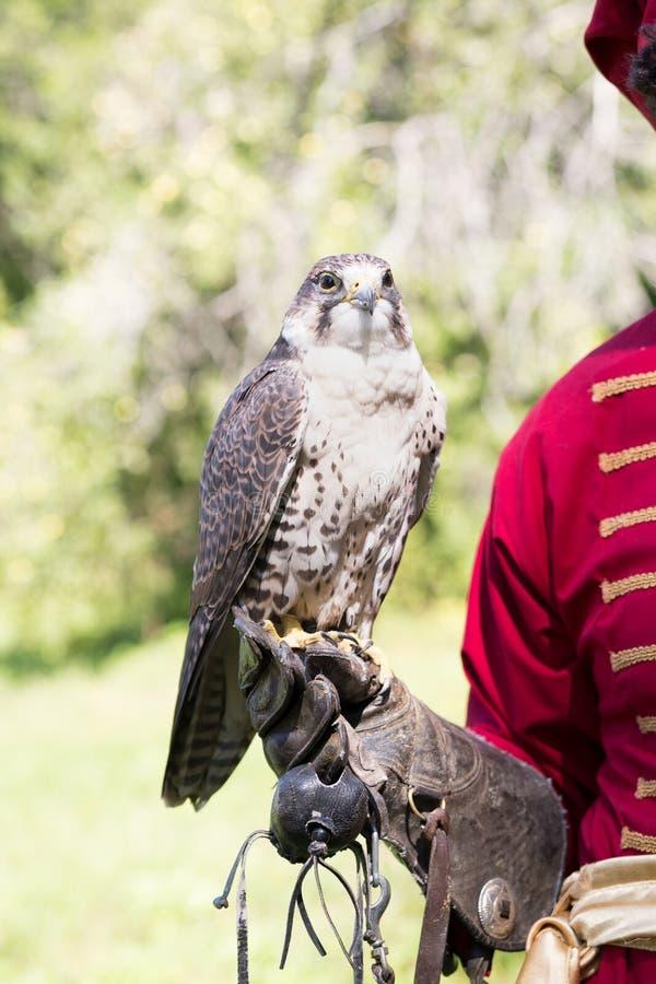 Un oiseau de proie pour la fauconnerie russe images stock