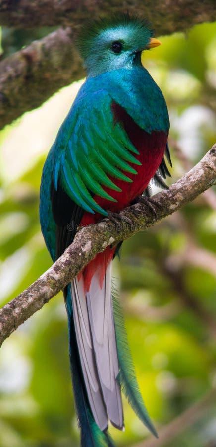 Un oiseau de quetzal dans un arbre photo libre de droits