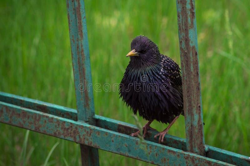 Un oiseau drôle se repose sur une barrière en métal posant pour la caméra photo libre de droits