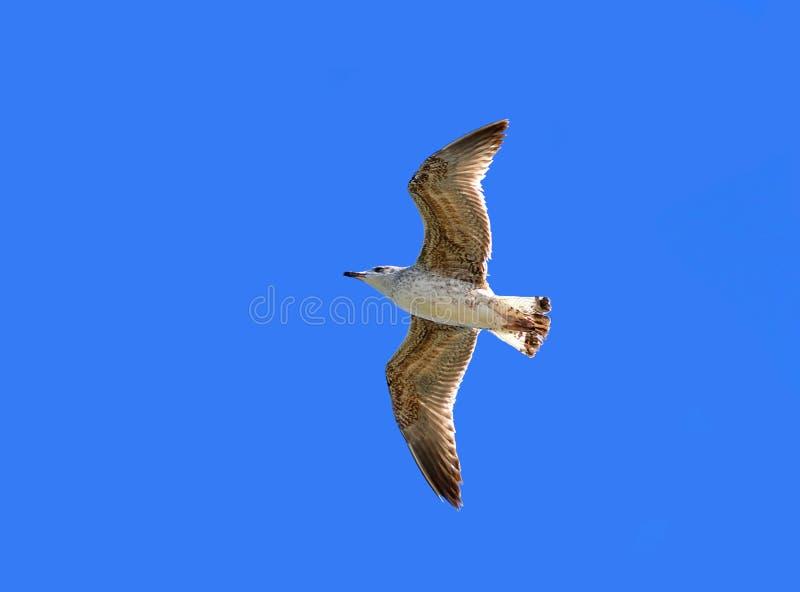 Un oiseau en vol image libre de droits
