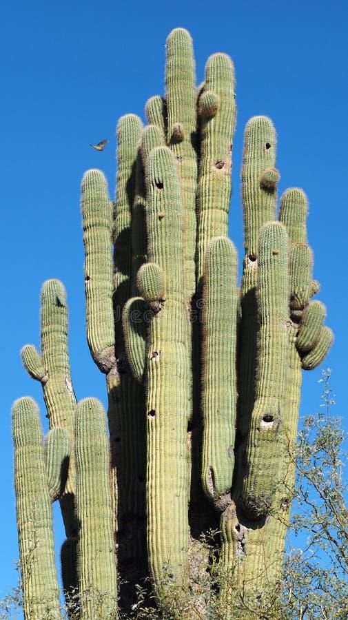 Un oiseau Flys à son nid dans un cactus antique de Saguaro image stock