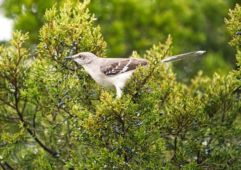 Un oiseau moqueur été perché dans un arbre de cèdre mangeant les baies photo libre de droits