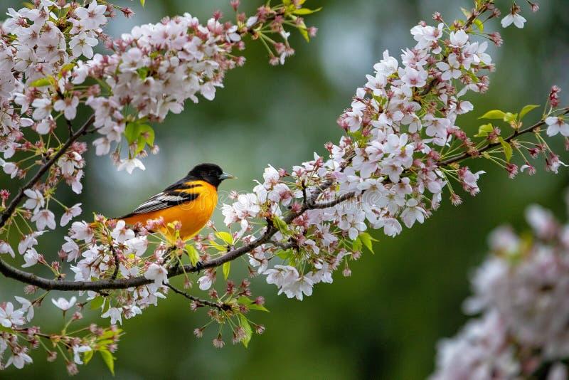 Un oiseau orange se reposant sur un arbre de fleurs de cerisier photographie stock