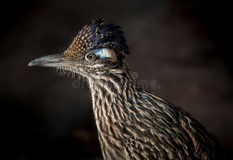 Un oiseau plus grand de Roadrunner photos stock