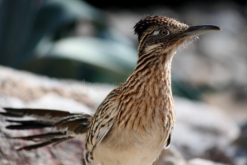 Un oiseau plus grand de Roadrunner photographie stock