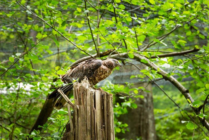 Un oiseau pr?dateur dans une for?t d'?t? photo libre de droits