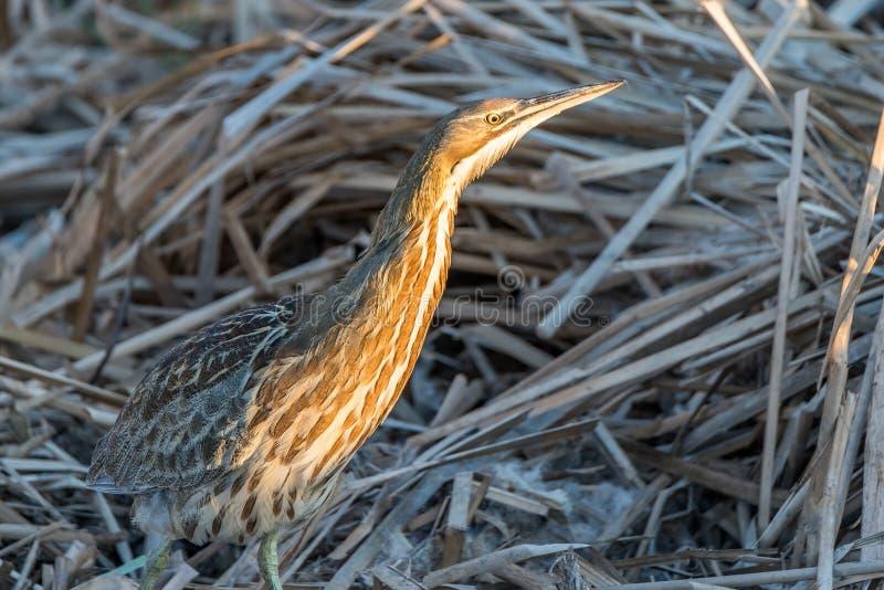 Un oiseau se repose dans l'herbe grande des dunes de sable photo stock