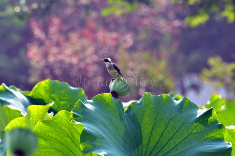 Un oiseau se repose sur des feuilles de lotus images stock