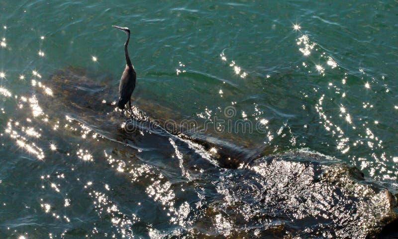 Un oiseau sur le lac Érié photo stock