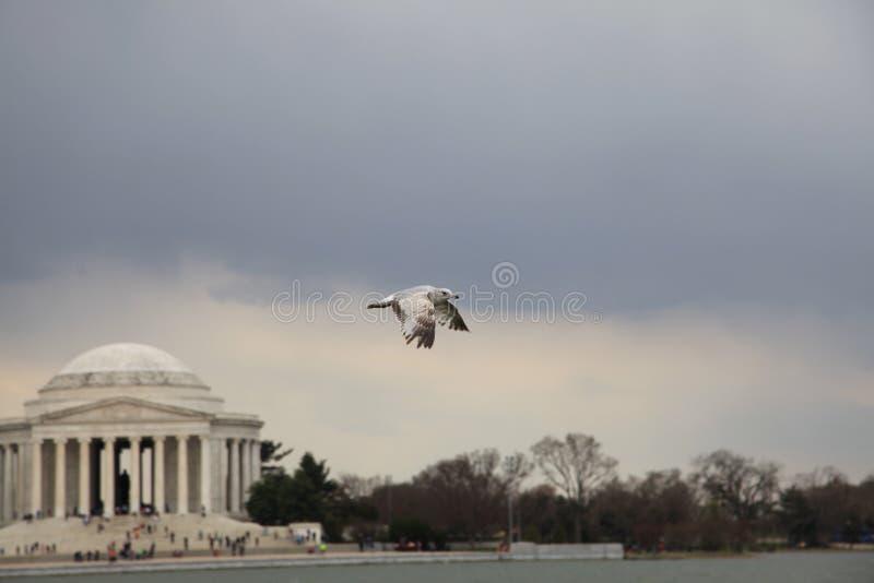 Un oiseau vole au-dessus du mémorial brouillé de Jefferson images stock