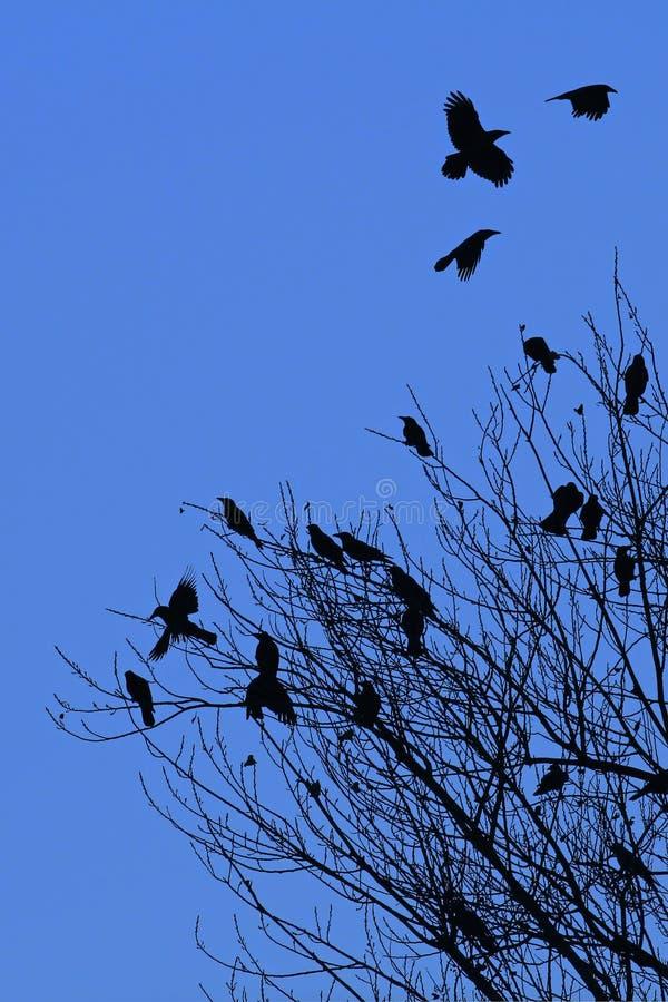 Un omicidio dei corvi come fondo astratto immagini stock libere da diritti