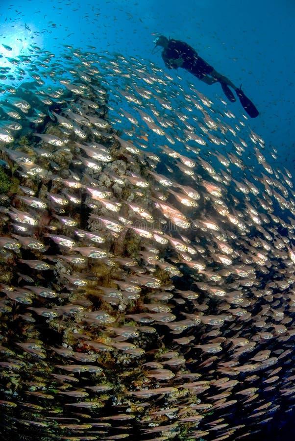 Un operatore subacqueo che nuota sopra una scuola del pesce fotografia stock