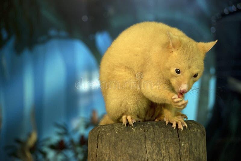 Un opossum d'or photographie stock