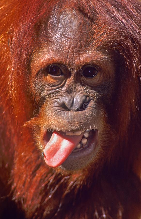 Un orang-outan avec une MOUCHE sur sa langue ! photos libres de droits